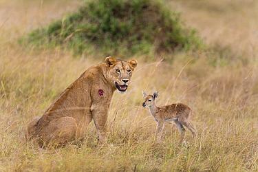 African Lion (Panthera leo) female and Kob (Kobus kob) calf, Queen Elizabeth National Park, Uganda  -  Adri de Visser