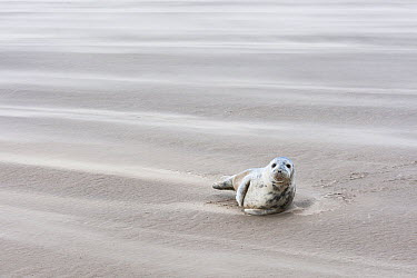 Grey Seal (Halichoerus grypus) on beach, Donna Nook, Lincolnshire, England, United Kingdom  -  Bart  Breet/ NIS