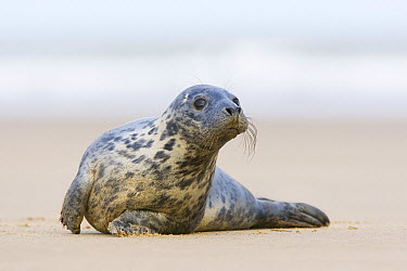 Grey Seal (Halichoerus grypus) sub-adult on beach, Donna Nook, Lincolnshire, England, United Kingdom  -  Bart  Breet/ NIS