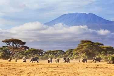 African Elephant (Loxodonta africana) herd in savanna, Mount Kilimanjaro, Amboseli National Park, Kenya  -  Richard Garvey-Williams/ NIS