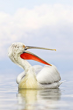 Dalmatian Pelican (Pelecanus crispus) calling, Lake Kerkini, Greece  -  Bart  Breet/ NIS