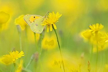 Clouded Yellow (Colias croceus) butterfly, Friesland, Netherlands  -  Marcel van Kammen/ NiS
