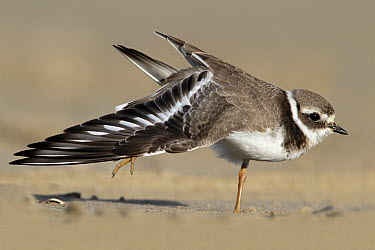 Common Ringed Plover (Charadrius hiaticula) stretching, Netherlands  -  Lesley van Loo/ NiS