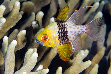 Pajama Cardinalfish (Sphaeramia nematoptera), Bali, Indonesia  -  Dray van Beeck/ NiS