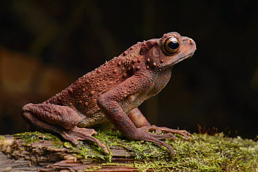 Common Tree Toad (Pedostibes hosii) rarely descends to ground to breed, Lubang Buaya, Batang Ai National Park, Malaysia  -  Ch'ien Lee