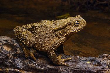 Giant River Toad (Bufo juxtasper), Lubang Buaya, Batang Ai National Park, Malaysia  -  Ch'ien Lee
