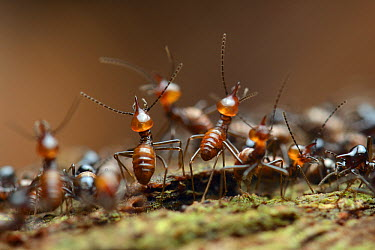 Termite (Hospitalitermes sp) soldiers defending a column of workers with chemical weaponry, each is capable of squirting a noxious fluid from the gland on its head, Tibu, Batang Ai National Park, Mala...  -  Ch'ien Lee