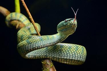 Borneo Keeled Pit Viper (Tropidolaemus subannulatus) smelling, Tibu, Batang Ai National Park, Malaysia  -  Ch'ien Lee