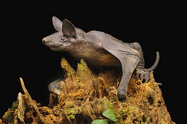 Hairless Bat (Cheiromeles torquatus), the heaviest insectivorous bat in the world, Tibu, Batang Ai National Park, Malaysia  -  Ch'ien Lee
