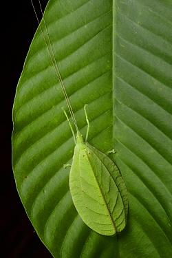 Katydid (Tettigoniidae)mimicking leaf, Danum Valley Field Centre, Borneo, Malaysia  -  Ch'ien Lee