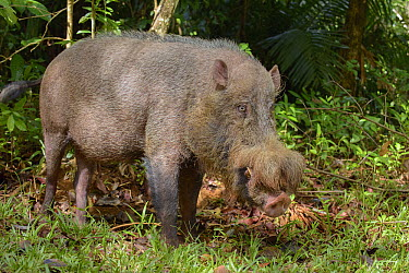 Bearded Pig (Sus barbatus) male, Bako National Park, Borneo, Malaysia  -  Ch'ien Lee