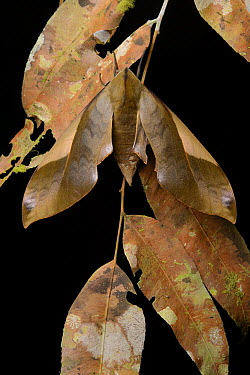 Sphinx Moth (Clanis stenosema) camouflaged agains dead leaves, Mulu National Park, Malaysia  -  Ch'ien Lee