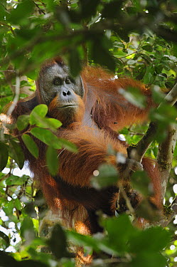 Orangutan (Pongo pygmaeus) male beginning to develop cheek pads, a sign of maturity placing his age near 15 to 20 years, Nanga Sumpa, Batang Ai National Park, Malaysia  -  Ch'ien Lee
