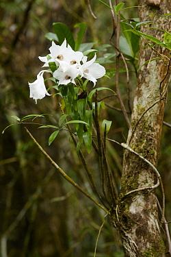 Ms. Sander's Dendrobium (Dendrobium sanderae) orchid, Mhojeg Peak, Dinalongan, Luzon Island, Philippines  -  Ch'ien Lee