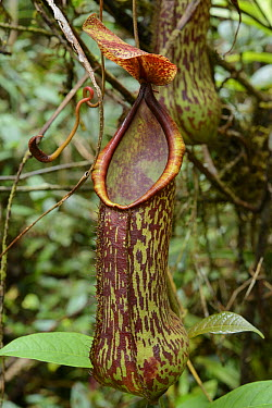 Pitcher Plant (Nepenthes alata), Mhojeg Peak, Dinalongan, Luzon Island, Philippines  -  Ch'ien Lee