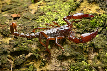 Asian Forest Scorpion (Heterometrus longimanus), Iwahig Penal Colony, Iwahig, Palawan Island, Philippines  -  Ch'ien Lee