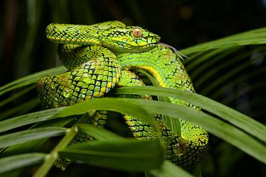 Schultz' Pit Viper (Trimeresurus schultzei), Thumb Peak, Palawan Island, Philippines  -  Ch'ien Lee