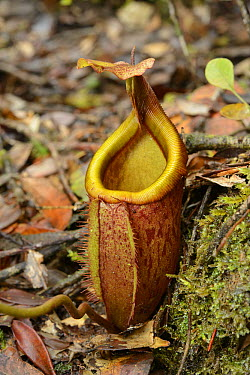 Pitcher Plant (Nepenthes deaniana), Thumb Peak, Palawan Island, Philippines  -  Ch'ien Lee