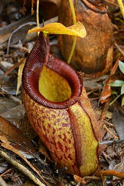 Pitcher Plant (Nepenthes leonardoi) an extremely narrow-range endemic, Schom-carp Peak, Narra, Palawan Island, Philippines  -  Ch'ien Lee