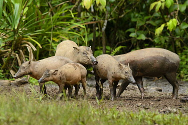 North Sulawesi Babirusa (Babyrousa celebensis) female with offspring, Nantu Wildlife Sanctuary, Sulawesi, Indonesia  -  Ch'ien Lee