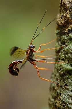 Ichneumon Wasp (Ichneumonidae) female drilling into bark to deposit eggs in a host grub, Weda Bay, Halmahera, Sulawesi, Indonesia  -  Ch'ien Lee