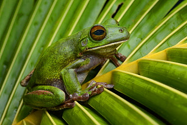 Australasian Tree Frog (Litoria infrafrenata infrafrenata), Weda Bay, Halmahera, Sulawesi, Indonesia  -  Ch'ien Lee