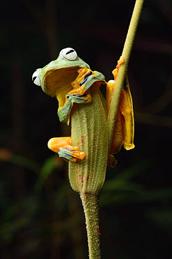 Bornean Smaller Flying Frog (Rhacophorus borneensis) only descends to breed in pools of water, Taong, Batang Ai National Park, Malaysia  -  Ch'ien Lee