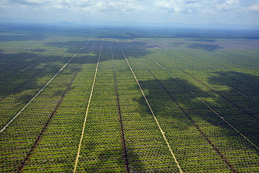 Oil palm plantations made profitable by demand from foreign industries are one of the biggest threats to Bornean wilderness, Kuching, Malaysia  -  Ch'ien Lee