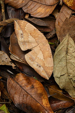 Moth (Eupterote asclepiades) camouflaged against leaf litter, Gunung Penrissen, Borneo Highlands, Malaysia  -  Ch'ien Lee