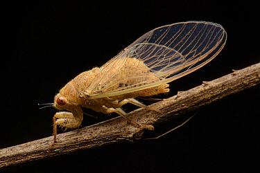 Cicada (Baeturia sp), Wailebet, Batanta Island, Indonesia  -  Ch'ien Lee