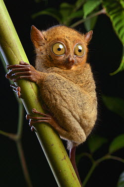Horsfield's Tarsier (Cephalopachus bancanus borneanus) a small nocturnal predatory primate, Kuching, Malaysia  -  Ch'ien Lee