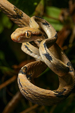 Dog-toothed Cat Snake (Boiga cynodon) a predator with exceptionally long teeth adapted for fast penetration through layers of bird feathers, Mulu National Park, Malaysia  -  Ch'ien Lee