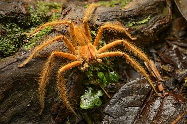 Huntsman Spider (Heteropoda davidbowei), Melinau Gorge, Mulu National Park, Malaysia  -  Ch'ien Lee