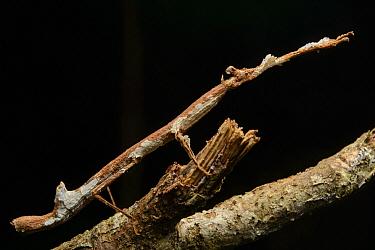 Stick Insect (Phenacephorus cornucervi), Mount Kinabalu National Park, Borneo, Malaysia  -  Ch'ien Lee