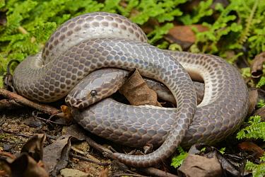 Sunbeam Snake (Xenopeltis unicolor), Taman Stutong Indah, Kuching, Malaysia  -  Ch'ien Lee
