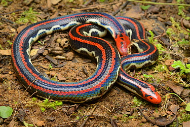Blanford's Pipe Snake (Cylindrophis lineatus) raising its tail which is thickened and colored to appear as a head in a defense posture, Kuching, Sarawak, Malaysia  -  Ch'ien Lee