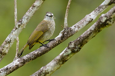 Pale-faced Bulbul (Pycnonotus leucops) carrying spider web for nest building, Malaysia  -  Ch'ien Lee
