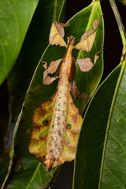 Leaf Insect (Phyllium sp) males have fully developed wings, smaller bodies and are capable of flight, Danum Valley Field Centre, Borneo, Malaysia  -  Ch'ien Lee