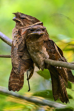Dulit Frogmouth (Batrachostomus harterti) pair roosting by day, Borneo  -  Ch'ien Lee