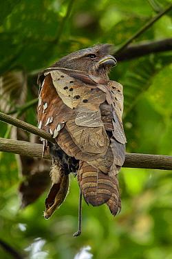 Dulit Frogmouth (Batrachostomus harterti), Borneo, Malaysia  -  Ch'ien Lee