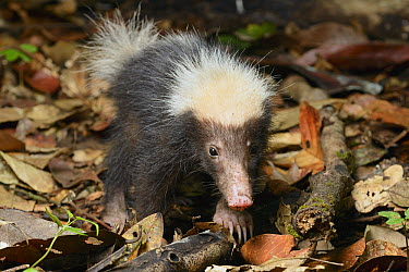 Sunda Stink Badger (Mydaus javanensis), Danum Valley Conservation Area, Borneo, Malaysia  -  Ch'ien Lee