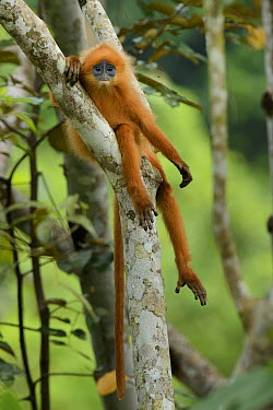 Red Leaf Monkey (Presbytis rubicunda), Danum Valley Field Centre, Borneo, Malaysia  -  Ch'ien Lee