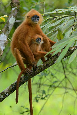 Red Leaf Monkey (Presbytis rubicunda)and young, Danum Valley Field Centre, Borneo, Malaysia  -  Ch'ien Lee