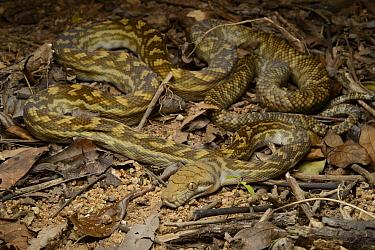 Amethythine Scrub Python (Morelia amethistina), Iron Range National Park, Australia  -  Ch'ien Lee