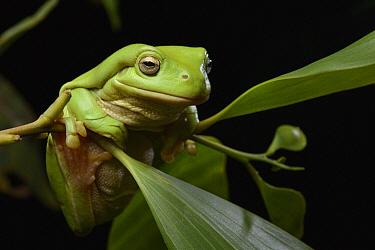 White's Tree Frog (Litoria caerulea), Bramwell Station, Australia  -  Ch'ien Lee