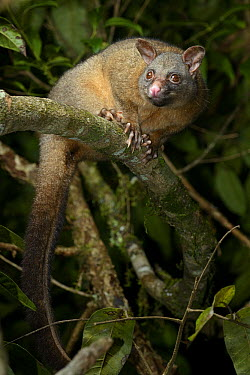Coppery Brushtail (Trichosurus johnstonii), Mount Hypipamee National Park, Australia  -  Ch'ien Lee