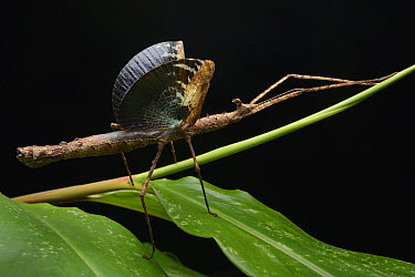 Stick Insect (Onchestus rentzi) female in defensive display, Mount Hypipamee National Park, Australia  -  Ch'ien Lee
