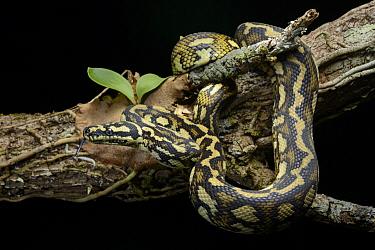 Carpet Python (Morelia spilota), Kuranda, Australia  -  Ch'ien Lee