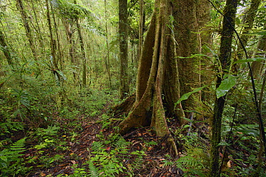 Cool and damp mossy forest, Arfak Mountains, New Guinea, Indonesia  -  Ch'ien Lee