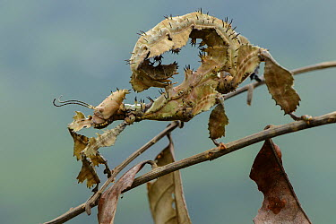 Stick Insect (Extatosoma popa) mimicking dead leaves, Ndundu, Indonesia  -  Ch'ien Lee